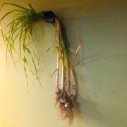 Our garlic hanging in the basement to cure.